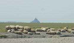 les agneaux de prés-salés du Mont-Saint-Michel labelisés AOC