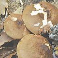 Pluteus cervinus (2)