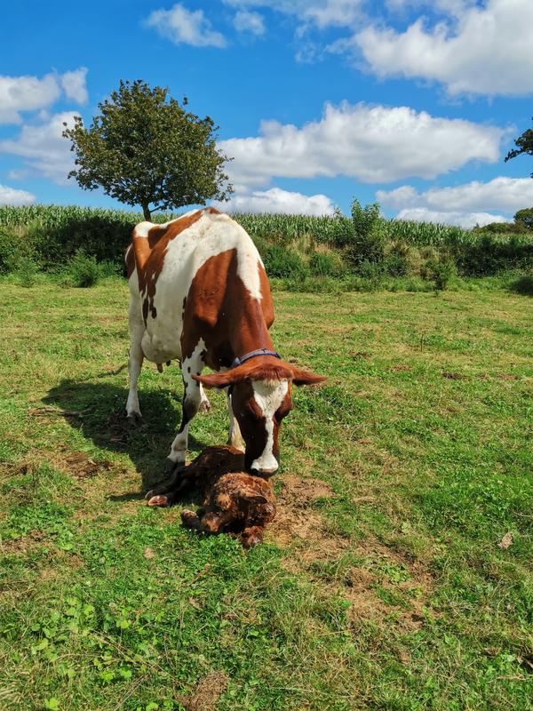 Vêlage de ma vache Pie Rouge Gwendoline 23/08/2020