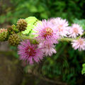 Mimosa pudica (sensitive) - martinique
