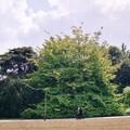 Parrotia, Jardin des Plantes de Paris, mai 2004