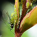 pucerons des rosiers • Macrosiphum rosea • Famille des Aphididae