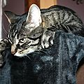 Zizou royal et tranquille sur son arbre à chat