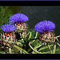 Fleurs d'Artichaud