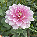 Dahlia-Pink-Perception