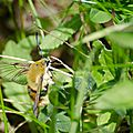 Sphinx bourdon - Hemaris tityus