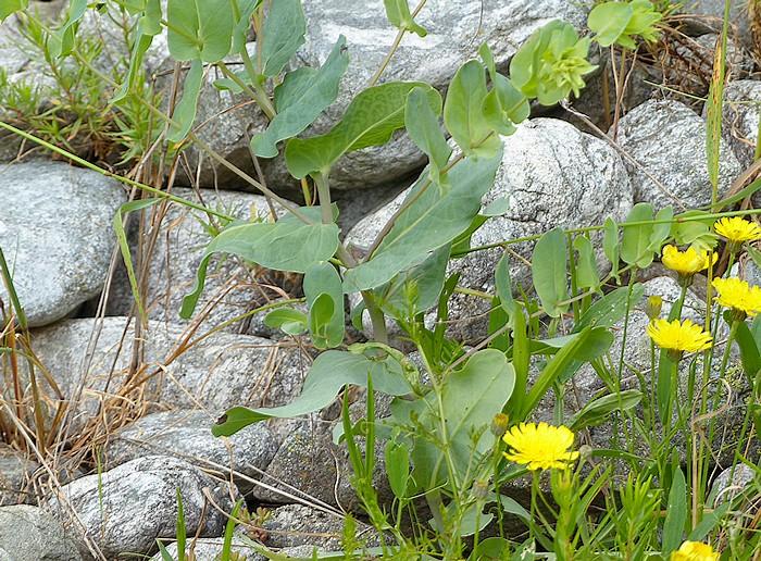 feuilles glauques alternes lisses généralement non tachées de blanc