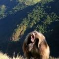 Faune et Flore du Simien : Babouin Gelada