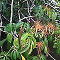 Fleurs-de-cacao