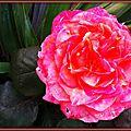 Rose orange 130515