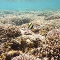 corail-et-poisson-St-Leu
