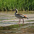 Oie d'Egypte (Alopochen aegyptiacus) - vallée de l'Hoarusib Namibie