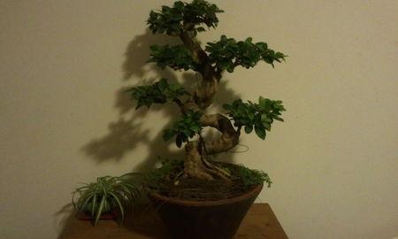 ficus panda decembre 2012