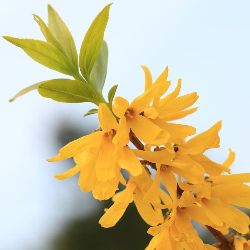 Forsythia-viridissima-Citrus-Swizzle-781621-1