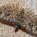 Ornéode du chèvrefeuille • Alucita-hexadactyla • Famille des Alucitidae