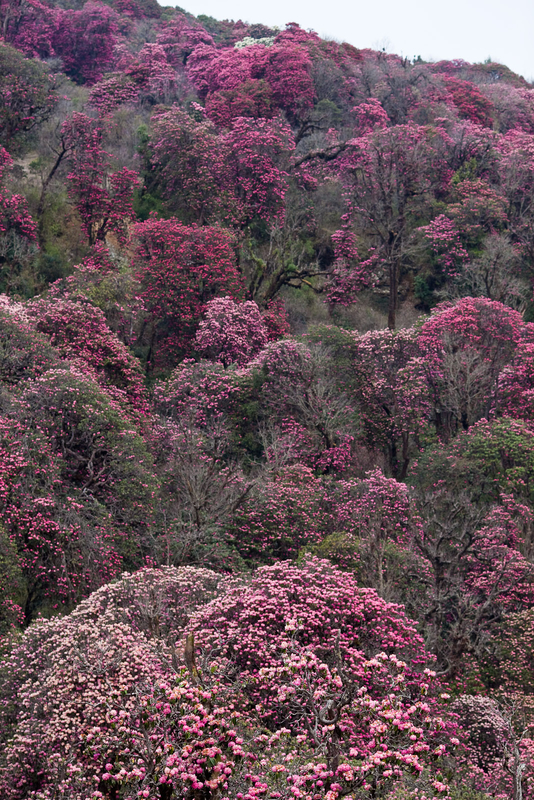 Rhododendron_forest_at_Ghorepani_(4525879748)
