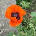 2008 06 15 Un pavot d'Orient en fleur