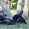 chimpanze beauval