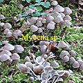 Mycena sp
