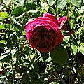 Mes roses, fleurs Catherine et Balade au Lac 110518