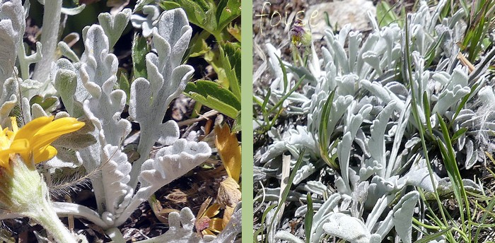 feuilles inférieures pétiolées incisées-crénélées