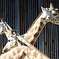 Trois têtes de girafe (Lyon, juin 2014)