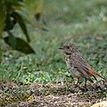 rouge-que noir (Phoenicurus ochruros)