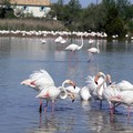Flamants roses 05