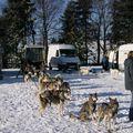 Courses de chiens de traineaux