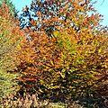 Hêtres en automne...