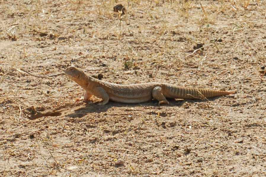 varran dans le desert du thar
