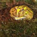 ceratophrys cranwelli serpentarium 10