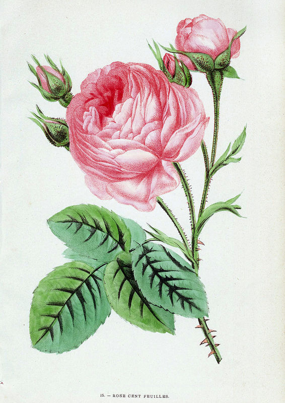 Livre ancien : Les Roses de Jamain et Forney