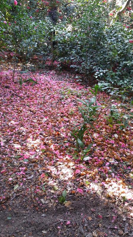 camellias4