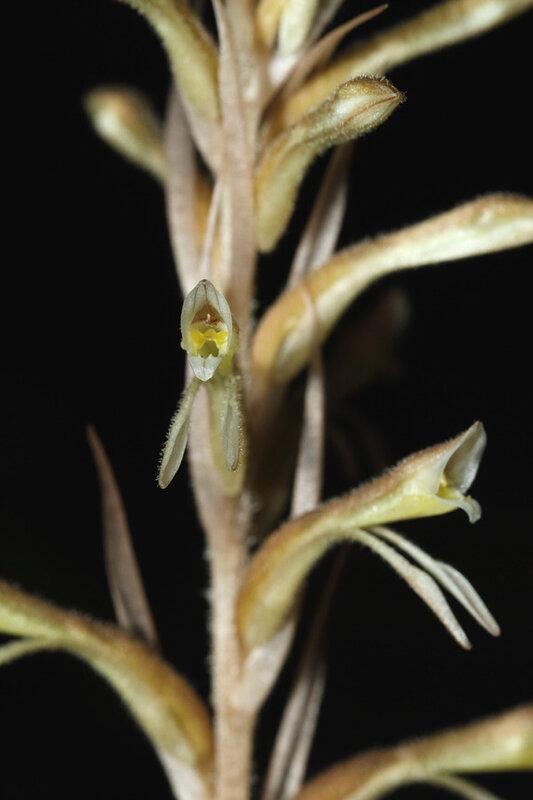 Pelexia callifera
