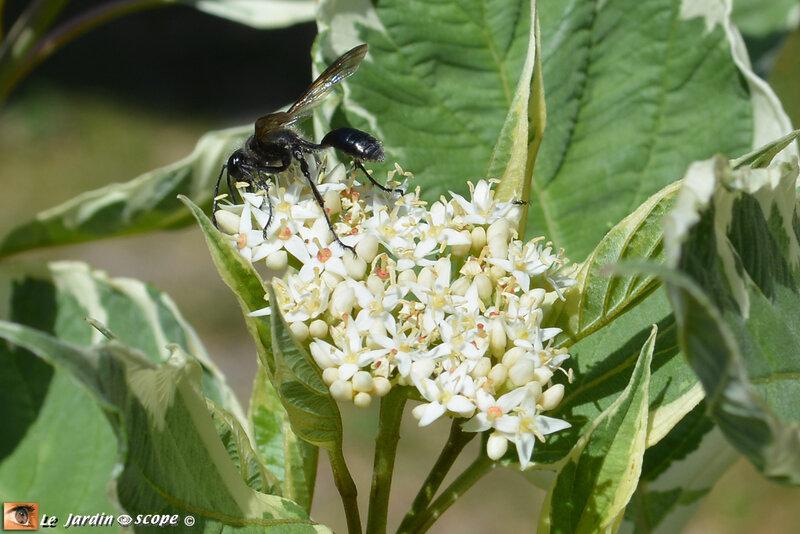 Cornus-elegantissima-alba-2