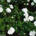 Rosier à fleur d'églantier au Parc d'Apremont (18)