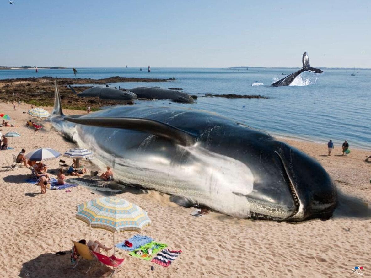 Une baleine s'est échouée sur la grande plage …à Port-Louis!