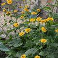 2009 07 07 Aunées vivaces en fleur