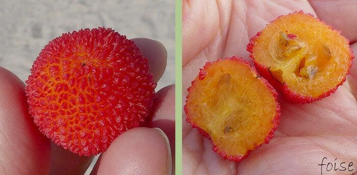 rouges à maturité à loges contenant chacune 4-5 graines