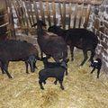 2009 10 31 Les brebis et leurs agneaux (2)