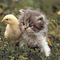 petit-chat-chaton-trop migon-poussin