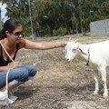 De nombreuses chèvres sont présentes à Rodrigues