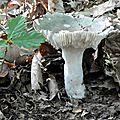 Russula cyanoxantha (7)