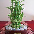 Découvrir... le lucky bambou