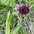 Orchis brûlé (4)
