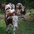 2009 09 23 Les vaches sur le chemin (3)