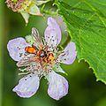 Une nouvelle famille de mouches: les conopidae