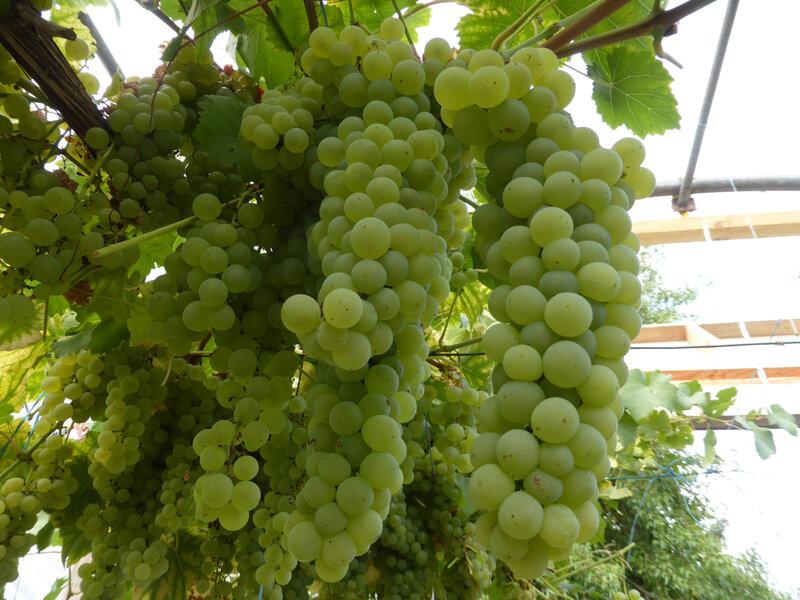 4-vignes, raisins (1)