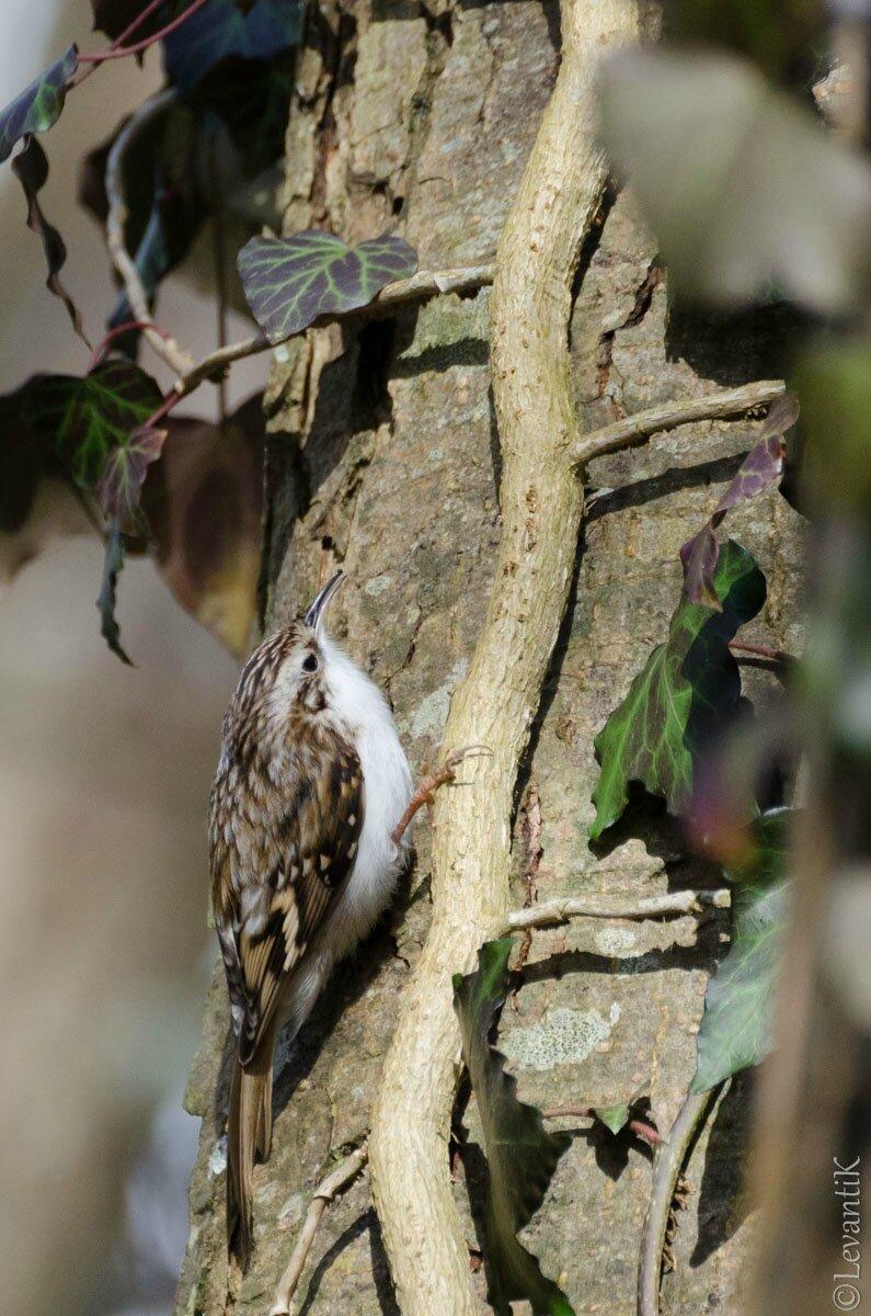 Grimpereau des bois - Certhia familiaris (4)